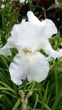 Άσπρο άνθος της Iris Στοκ Εικόνες