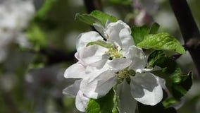 Άσπρο άνθος appple φιλμ μικρού μήκους