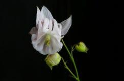 Άσπρο άνθος Aquilegia Columbine στο μαύρο υπόβαθρο Στοκ Φωτογραφίες