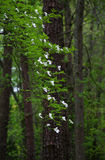 Άσπρο άνθος Dogwood Στοκ φωτογραφίες με δικαίωμα ελεύθερης χρήσης