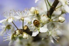 Άσπρο άνθος Ladybug Στοκ εικόνες με δικαίωμα ελεύθερης χρήσης