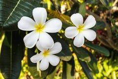 Άσπρο άνθος plumeria ή frangipani στο δέντρο plumeria. Στοκ Εικόνα