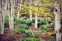 Άσπρο δάσος δέντρων σημύδων, λουλούδια ανοίξεων στοκ φωτογραφία