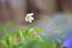 Άσπρο δάσος λουλουδιών anemone την άνοιξη Στοκ Φωτογραφία