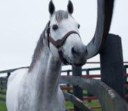 Άσπρο άλογο κούρσας στοκ φωτογραφία