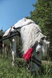 Άσπρο άλογο με έναν κόκκινο θύσανο Στοκ εικόνα με δικαίωμα ελεύθερης χρήσης