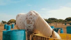 Άσπρο άλογο με έναν burlap σάκο ότι καλύπτοντας τα μάτια του φάτε το σανό στο αγρόκτημα απόθεμα βίντεο