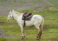 Άσπρο άλογο με τη σέλα στο πράσινο λιβάδι στοκ φωτογραφία
