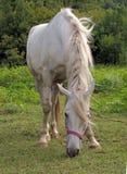Άσπρο άλογο παλτών τρίχας Στοκ φωτογραφία με δικαίωμα ελεύθερης χρήσης