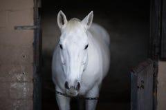 άσπρο άλογο που στέκεται στο σταύλο Στοκ Φωτογραφίες