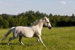 Άσπρο άλογο που τρέχει την άνοιξη το λιβάδι λιβαδιού Στοκ Φωτογραφία