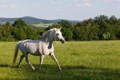 Άσπρο άλογο που τρέχει την άνοιξη το λιβάδι λιβαδιού Στοκ Εικόνες