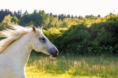 Άσπρο άλογο που τρέχει την άνοιξη το λιβάδι λιβαδιού Στοκ εικόνες με δικαίωμα ελεύθερης χρήσης