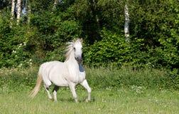 Άσπρο άλογο που τρέχει την άνοιξη το λιβάδι λιβαδιού Στοκ εικόνα με δικαίωμα ελεύθερης χρήσης