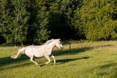 Άσπρο άλογο που τρέχει την άνοιξη το λιβάδι λιβαδιού Στοκ φωτογραφίες με δικαίωμα ελεύθερης χρήσης