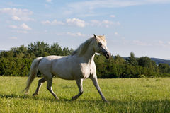 Άσπρο άλογο που τρέχει την άνοιξη το λιβάδι λιβαδιού Στοκ φωτογραφία με δικαίωμα ελεύθερης χρήσης