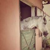Άσπρο άλογο σε έναν σταύλο Στοκ Εικόνες