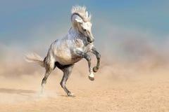 Άσπρο άλογο στη σκόνη Στοκ φωτογραφία με δικαίωμα ελεύθερης χρήσης