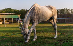 Άσπρο άλογο στον τομέα Στοκ Εικόνες