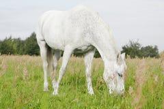 Άσπρο άλογο στους τομείς στοκ φωτογραφίες