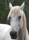 Άσπρο άλογο Στοκ Φωτογραφία