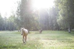 Άσπρο άλογο Στοκ Εικόνα