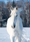 Άσπρο άλογο Στοκ εικόνες με δικαίωμα ελεύθερης χρήσης