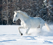 Άσπρο άλογο Στοκ Εικόνες