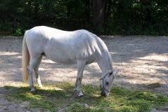 Άσπρο άλογο Lipizaner στο λιβάδι Στοκ Φωτογραφίες