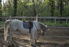 Άσπρο άλογο lipizzaner στο δάσος Στοκ εικόνα με δικαίωμα ελεύθερης χρήσης