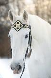 Άσπρο άλογο trotter στο μεσαιωνικό μπροστινό υπαίθριο οριζόντιο πορτρέτο χαλινάρι-λουριών το χειμώνα στο ηλιοβασίλεμα Στοκ Φωτογραφίες