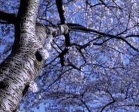 Άσπρο δέντρο ανθών της Apple Στοκ Εικόνες