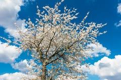 Άσπρο δέντρο κερασιών με το μπλε ουρανό και άσπρα σύννεφα Στοκ Φωτογραφία