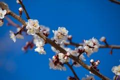 Ένας κλάδος των ανθών μήλων Στοκ Φωτογραφίες