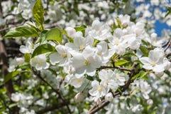 Άσπρο δέντρο της Apple λουλουδιών Στοκ Εικόνα