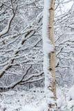 Άσπρο δέντρο της Aspen στο χιόνι Στοκ εικόνες με δικαίωμα ελεύθερης χρήσης