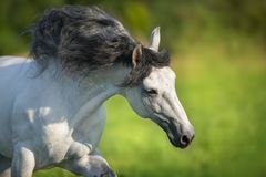 Άσπρο ανδαλουσιακό άλογο στοκ εικόνες