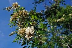 Άσπρο ανθίζοντας δέντρο ακακιών brunches με τα πράσινα φύλλα, μπλε ουρανός άνοιξη στοκ εικόνες