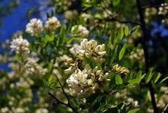 Άσπρο ανθίζοντας δέντρο ακακιών brunches με τα πράσινα φύλλα στον μπλε ουρανό άνοιξη στοκ εικόνες