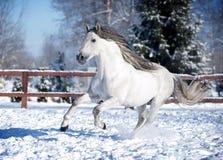 Άσπρο ανδαλουσιακό άλογο στη μάντρα στοκ εικόνες
