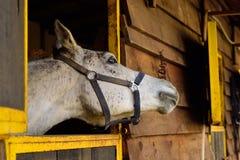 Άσπρο αραβικό άλογο που κοιτάζει μακρυά από τη κάμερα Στοκ Φωτογραφία