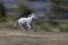 Άσπρο αραβικό τρέξιμο αλόγων Στοκ Εικόνα