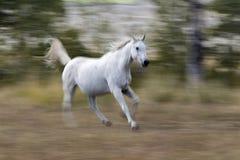 Άσπρο αραβικό τρέξιμο αλόγων Στοκ Εικόνες