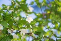 Άσπρο ασιατικό λουλούδι Wrightia Religiosa Benth Στοκ εικόνα με δικαίωμα ελεύθερης χρήσης