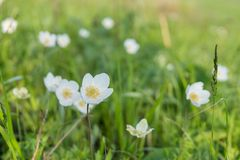Άσπρο βατράχιο λουλουδιών lat Ανθίσεις Anemone την πρώιμη άνοιξη σε ένα πράσινο λιβάδι Στοκ εικόνες με δικαίωμα ελεύθερης χρήσης