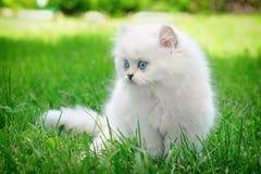 Άσπρο βρετανικό γατάκι της Νίκαιας στη χλόη Στοκ Φωτογραφίες