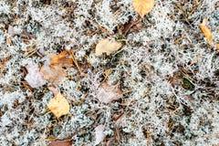 Άσπρο βρύο ή αρκτικός λειχήνα ή τάρανδος ή Cladonia Stellaris Στοκ εικόνες με δικαίωμα ελεύθερης χρήσης