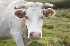Άσπρο βόσκοντας κεφάλι αγελάδων με το πράσινο τοπίο υποβάθρου Αζόρες, Στοκ φωτογραφία με δικαίωμα ελεύθερης χρήσης