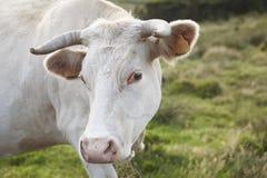 Άσπρο βόσκοντας κεφάλι αγελάδων με το πράσινο τοπίο υποβάθρου babara Στοκ φωτογραφίες με δικαίωμα ελεύθερης χρήσης