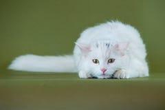 Άσπρο γατάκι στο ρολόι Στοκ εικόνα με δικαίωμα ελεύθερης χρήσης